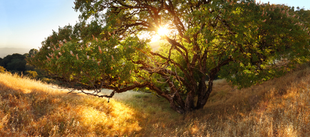 chaparral: A beautiful buckeye tree on a golden hillside with the sunset shining through the leaves