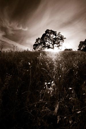roble arbol: roble gigante silueteado por el sol poniente, en una pradera tranquila con un bonito cielo