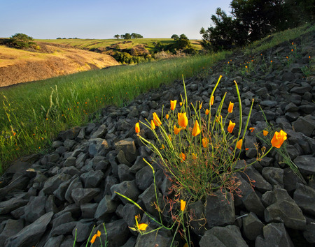 on the hill: Golden poppies blooming on a California hillside in Spring Stock Photo