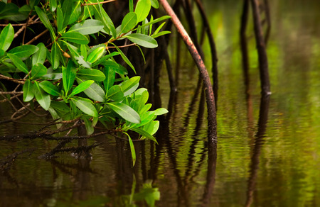 Red mangrove tree and its roots dip into calm brackish water in the Florida Evergaldes Stock fotó