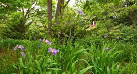 blooming  purple: The beautiful Secret Garden, in Changdeokgung Palace, Seoul South Korea, is seen here in late spring.  Most of the flowering trees are done blooming, but the irises still show their purple blossoms. Stock Photo