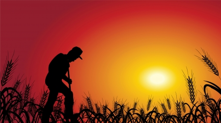 agriculture field: A farmer is working in wheat field, with the sunset background.