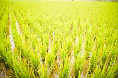rice field, close up and wide angle view, for vertical background. Stock Photo - 9531382
