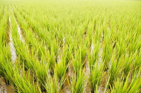 rice field, close up and wide angle view, for vertical background. Stock Photo - 11753277