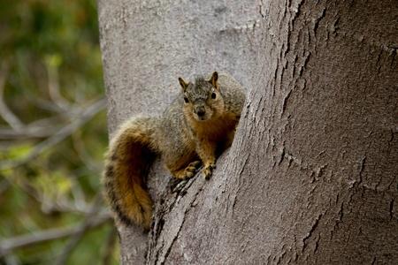 balboa: squirrel in tree in Balboa Park