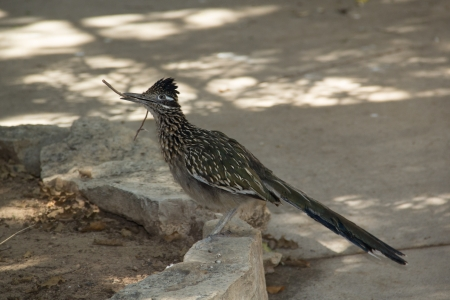 Roadrunner collecting nesting material