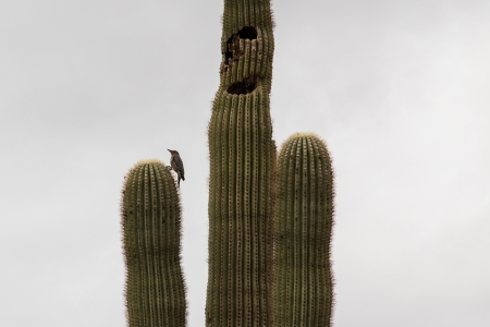 arizona woodpecker on saguaro cactus