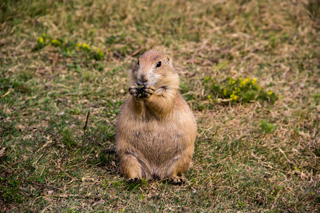 red tailed prairie dog in wyoming