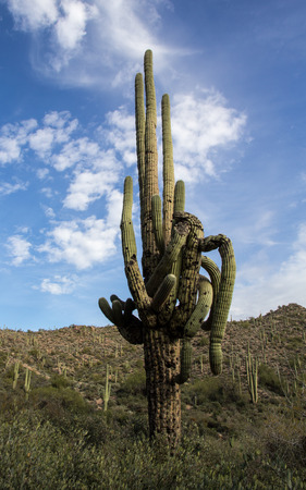 saguaro cactus with twisted arms Banco de Imagens