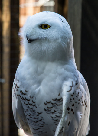 snowy owl at rehabilitation center