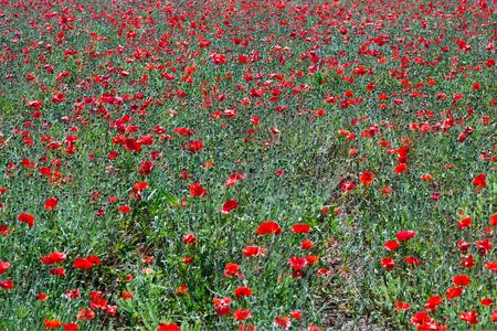 Field of red poppy flowers in spring