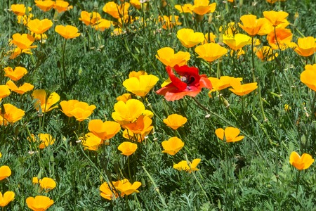 A red poppy flower and yellow poppies Stock Photo