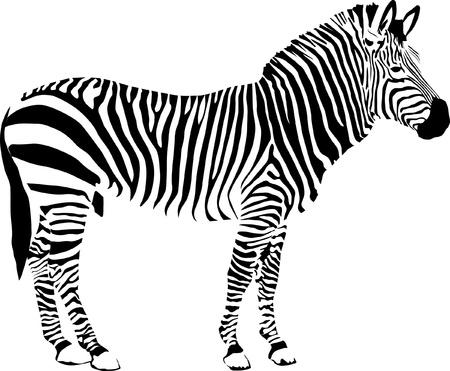 Zebra geïsoleerd op witte achtergrond