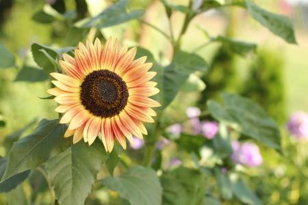 helianthus annuus: close up sunflower - Helianthus annuus