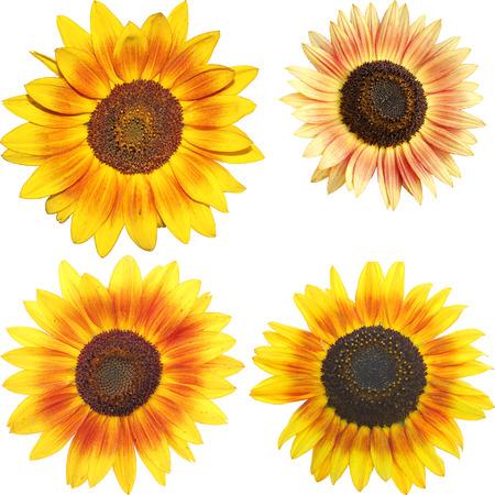 helianthus annuus: set of isolated sunflowers - Helianthus annuus
