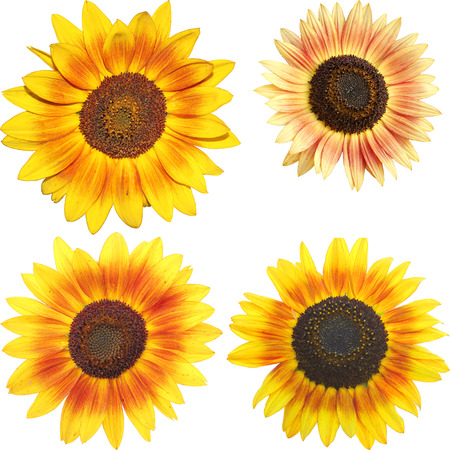 set of isolated sunflowers - Helianthus annuus