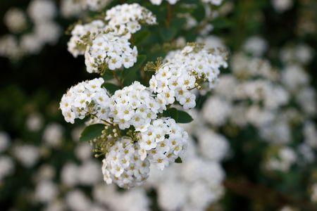 Flowers of Spiraea Thunbergii