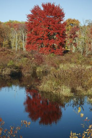 Red beech tree reflecting in water