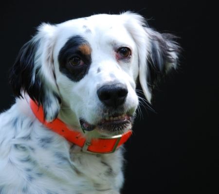English Setter portrait Stock Photo - 6160313