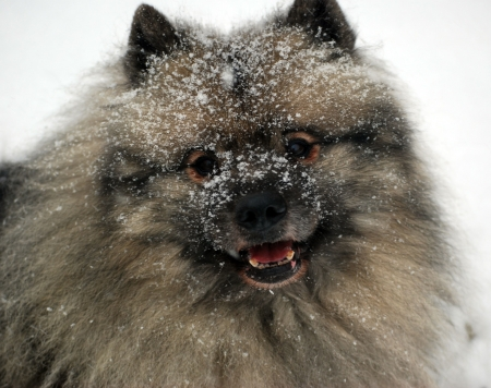 Keeshond with snow on his face