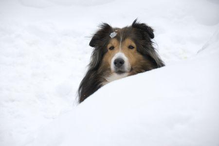 miniature collie: Shetland Sheepdog hiding behind snow bank