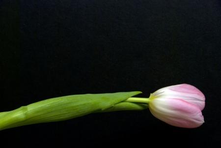 Single tulip against black background