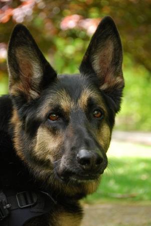 German Shepherd Stock Photo - 7032468