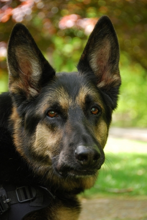 German Shepherd Stock Photo - 7032468