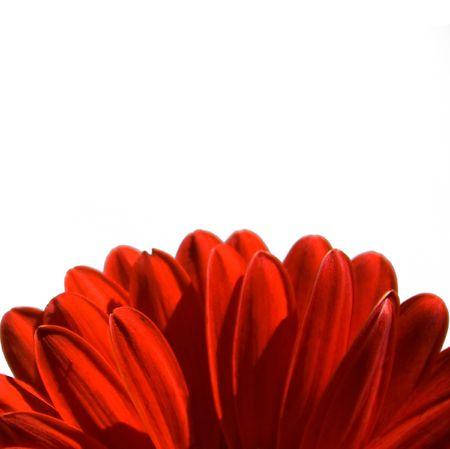 Daisy Red  Archivio Fotografico - 7032471