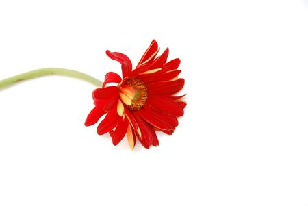 wilting: Wilting Daisy  Stock Photo