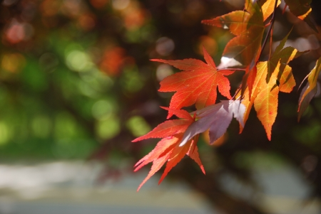 Japanese Maple leaf in springtime with limited dof