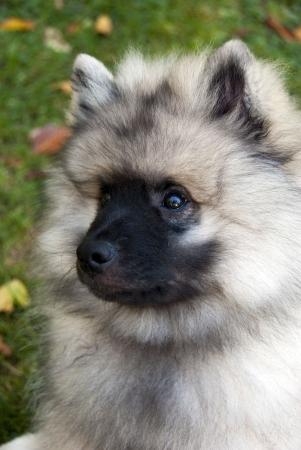 Keeshond cucciolo testa girato in formato verticale Archivio Fotografico - 7920187