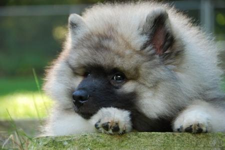 keeshond puppy resting  Archivio Fotografico