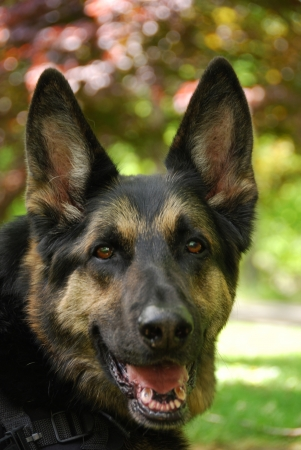 shepherd's companion: Head shot of a german shepherd in vertical format with very limited depth of field  Stock Photo