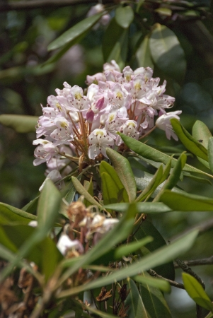 laurel mountain: mountain laurel vertical