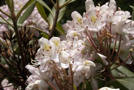 laurel mountain: mountain laurel horizontal Stock Photo