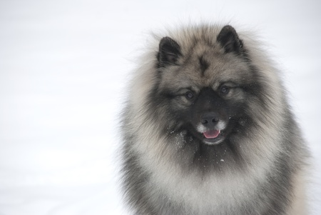Horizontal portrait of a male keeshond  Stock Photo