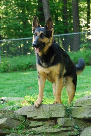 German shepherd standing on rock wall. Verical format