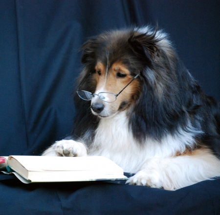 miniature collie: Sheltie with glasses reading a book