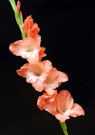 Gladiola flower on black background Archivio Fotografico