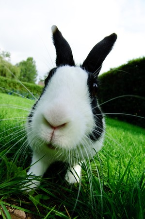 Cloes up picture of a black and white rabbit.