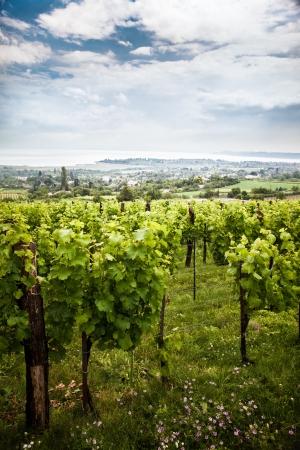 Vineyard in Ungarn vor der Ernte Standard-Bild - 17901577