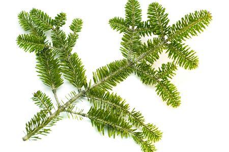 pine sprig isolated photo