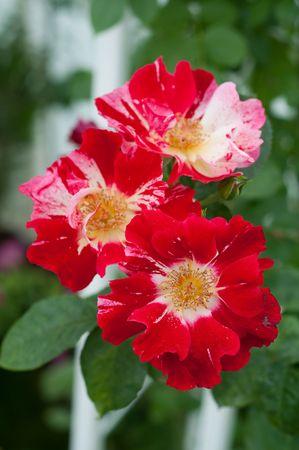 wild rose spray red photo