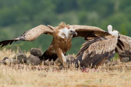 gyps: Griffin Vulture (Gyps fulvus)
