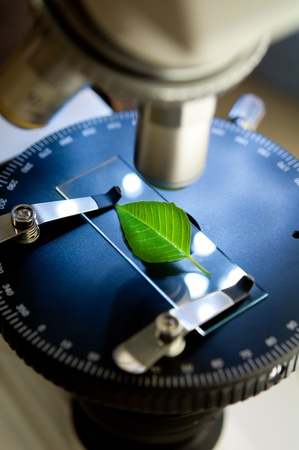 observation of a green leaf with a microscope