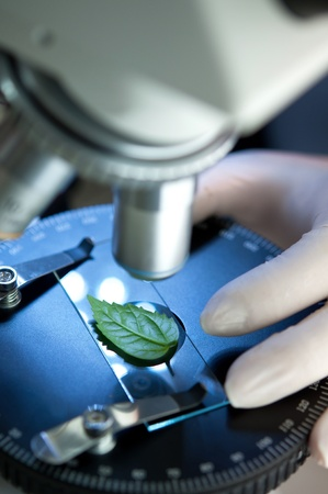 herbal knowledge: observation of a green leaf with a microscope
