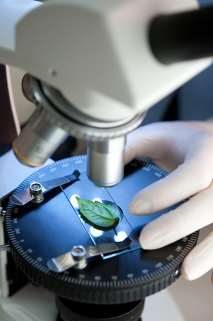 rubber plant: observation of a green leaf with a microscope