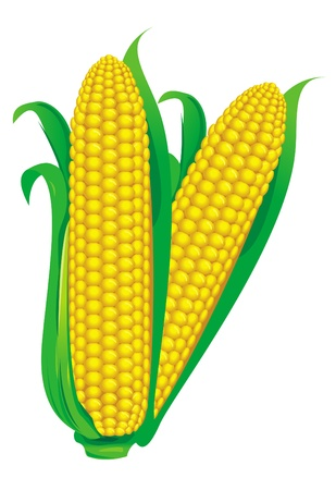 maize: Corncob vector illustration isolated on white background