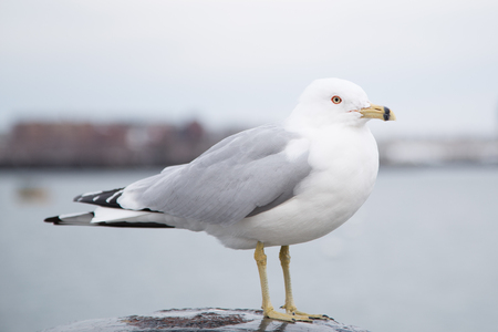 Seagull standing on a bollard and looking at the camera on a cold cloudy day in winter. Harborwalk, Boston, MA, USA Stock Photo